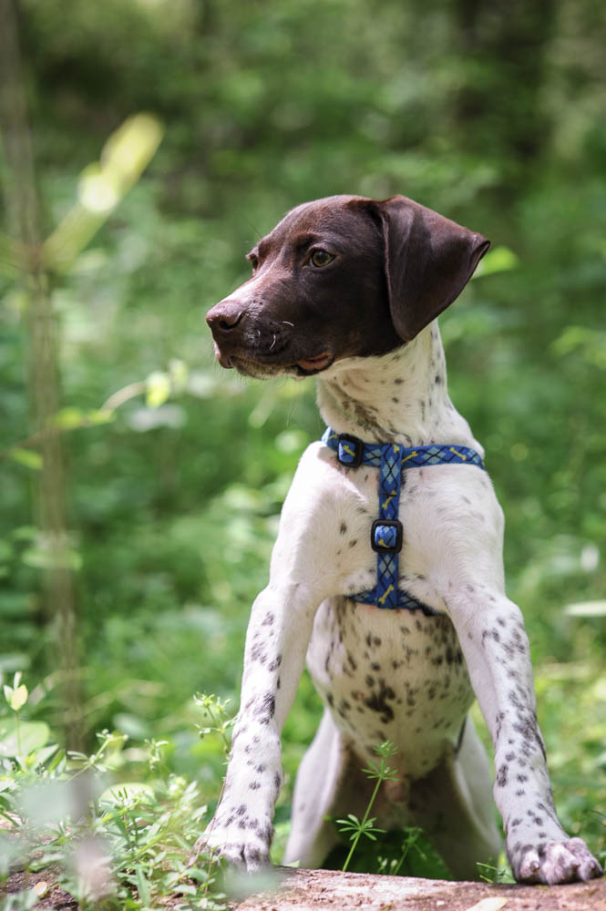 German Shorthaired Pointer Earth Day 2017