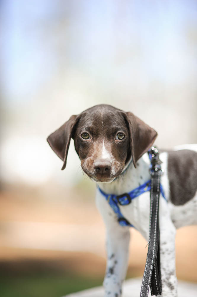 Ben the Super German Shorthaired Pointer in Georgia