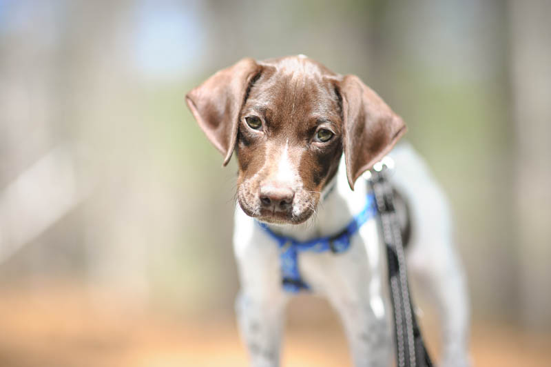 Portrait of a German Shorthaired Pointer