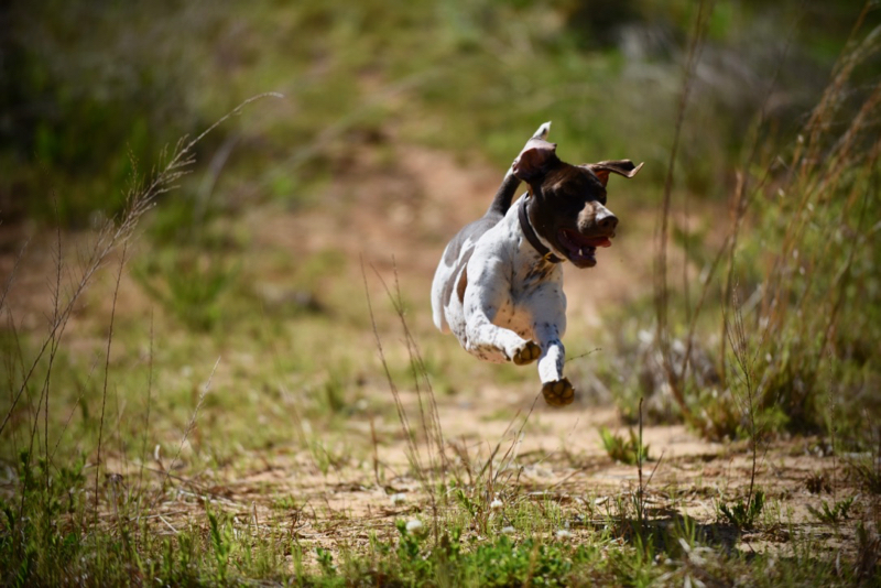 Super German Shorthair Pointer
